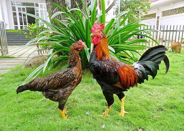 Giải mã nằm mơ thấy gà là điềm báo gì?