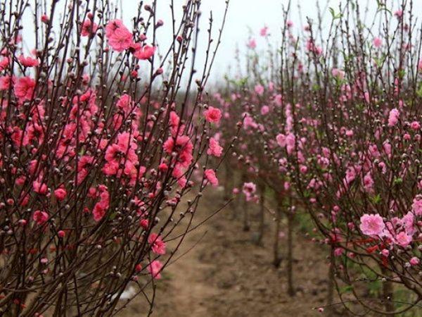 Mơ thấy hoa đào nở đánh con gì?
