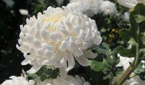 Mơ thấy hoa cúc trắng điềm báo gì đánh số gì trúng lớn