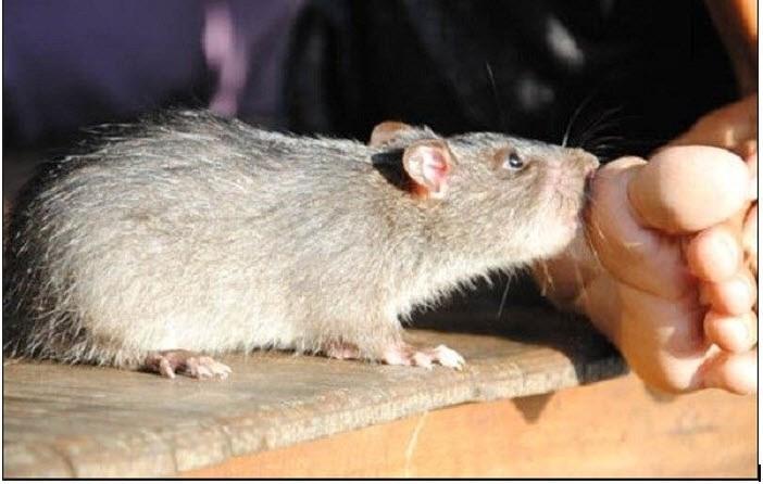 Mơ thấy bị chuột cắn điềm báo gì đánh số gì?